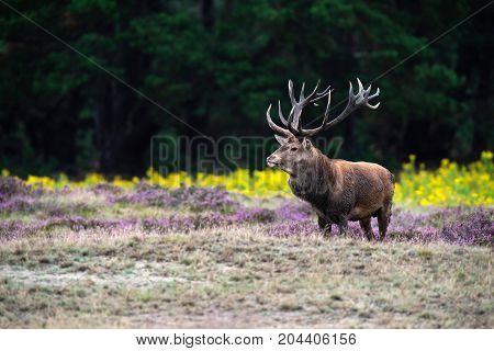 Solitary Red Deer Stag In Field Of Blooming Heather And Yellow Flowers.