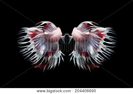 Back Side Of White And Red Crown Tails Fighting Fishs