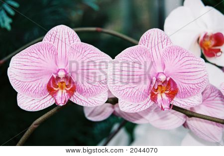 Pink White Orchids