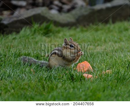 An Eastern Chipmunk (Tamias striatus), eating a carrot on a green lawn in Nineveh, New York, USA.