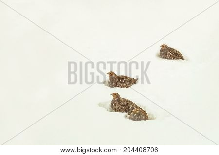 Wild partridges in the snowy of the winter steppe