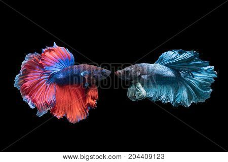 Betta splendens beautiful red and blue fighting fish isolated on black background fish fresh water in Thailand