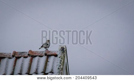 White Crow. Rare, white crow sitting on a rooftop in the winter