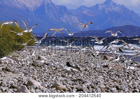 Seagulls bt Nahuel Huapi lake by San Carlos de Bariloche at windy day time. North Patagonia. Argentina.