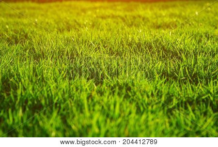 Green lawn, backyard for the background, lawn floor, close-up lawn, and backlit shooting.