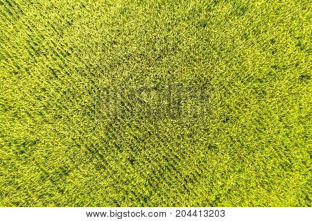 topview paddy field in Thailand , rice farm