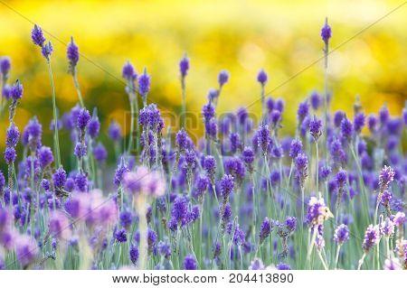 Lavender (Lavandula multifida) field background on sunset