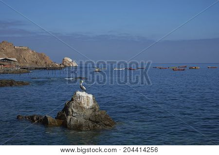 Peruvian Pelican on a rock in the harbour of the historic coastal town of Pisagua in the Tarapaca Region of northern Chile.