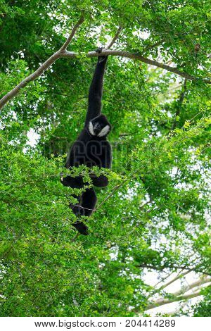 Gibbon hanging in the tree , animal