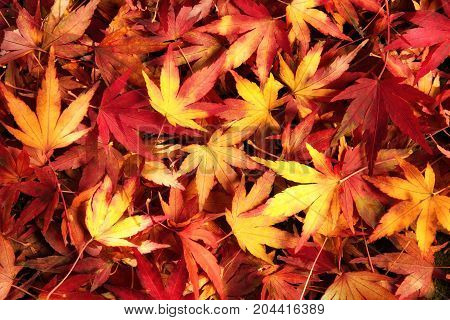 Japanese maple leaves in dreamy warm colors lying on the ground ornate pattern