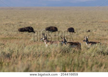 pronghorn antelope bucks on the Wyoming prairie