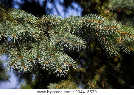 Needles Of Blue Spruce Tree  (picea Pungens) Closeup