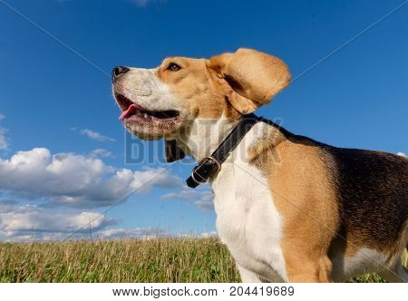 Dog portrait Beagle against the dense white clouds and blue sky