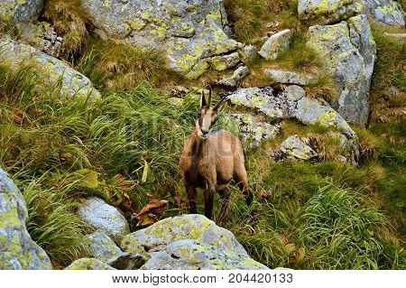 Tatra chamois. Rupicapra rupicapra tatrica. Chamois in their natural habitat. High Tatras National park in Slovakia.