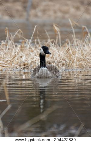 Isolated Canada Goose Swimming Through Sturgeon Creek, Winnipeg, Manitoba, Canada