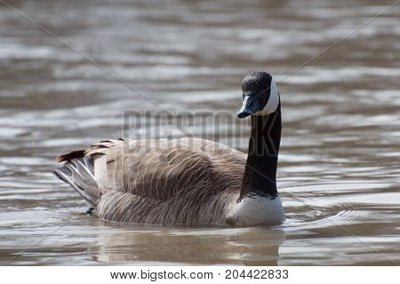 Isolated Canada Goose Swimming in the Assiniboine River, Winnipeg, Manitoba, Canada