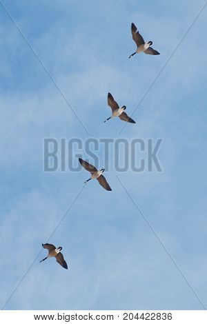 Four Canada Geese Flying South for the Winter, Winnipeg, Manitoba