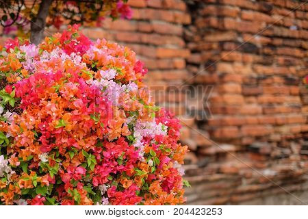 The beautiful Bougainvillea Flowers blooming in the garden with old vintage wall for texture or background.