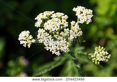 White Yarrow Flower (achillea Millefolium). Medicinal Plant