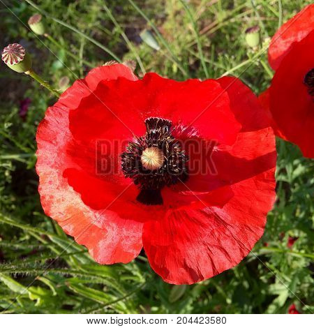 Closeup of red poppy in the sunshine