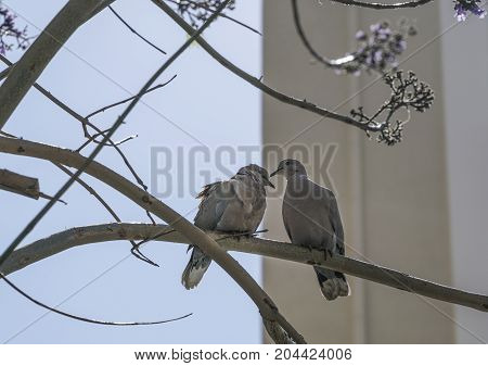 Turtledoves On Branch Of Tree