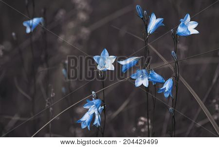 Light blue bell flowers on the dark brown blurred background with copy space. For web and polygraphic design or interior decor.