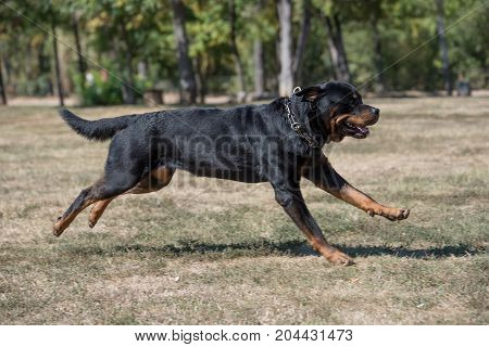 Rottweiler dog running through the grass Selective focus on the dog