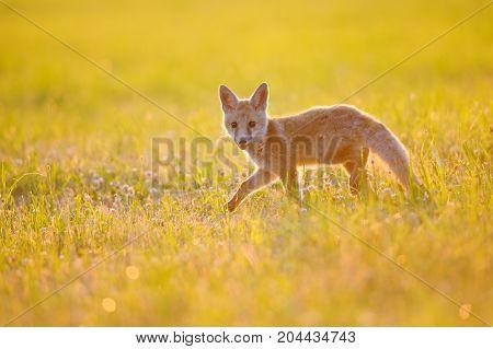 Small fax walking on grass in beautiful orange summer sunset