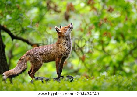 Fox with beatiful fairy-tale forrest background from side poster