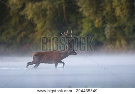 Red Deer Walking In Water In Front Of Forest