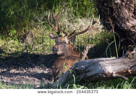 Red Deer Lying In Forest