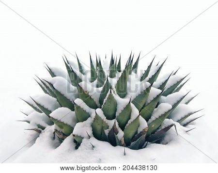 Chilly scene in the New Mexico desert, snow on agave. With copy space