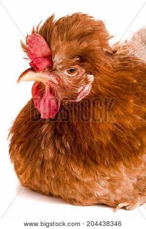 Portrait of a brown chicken isolated on white background.