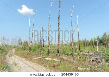 Forest dirt road in central Russia. The wastelands from the forest fire in 2010 are overgrown with birches.