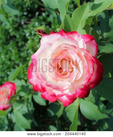 Ancient varietal roses. Collections of flowers in the Nikitsky botanical garden.