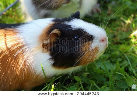 Guinea pig under a wire fencing in grass