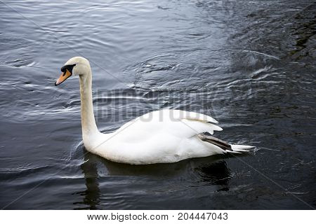 A White Swan In River Don At Seaton Park, Aberdeen