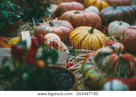 Beautiful Halloween still-life: various pumpkins of different forms types and colors are laying on thatch and in basket near other plants on a sunny day after harvesting; shallow depth of field