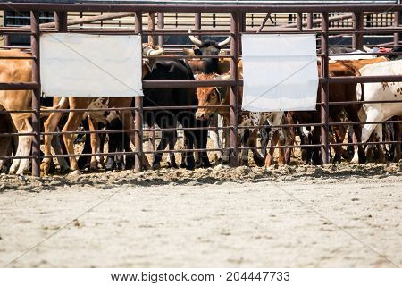 Steers In A Rodeo Arena At A Roping Event