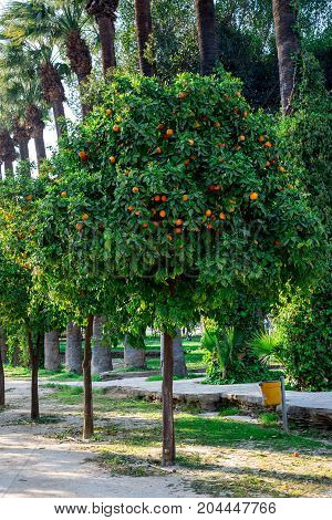Orange Trees In A Park Alley At Nicosia City