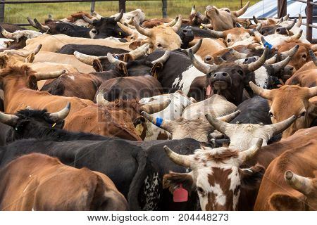 Steers In A Crowded Dusty Corral At A Rodeo