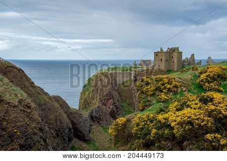 Yellow Flowers In Front Of Dunnottar Castle In Spring, Scotland