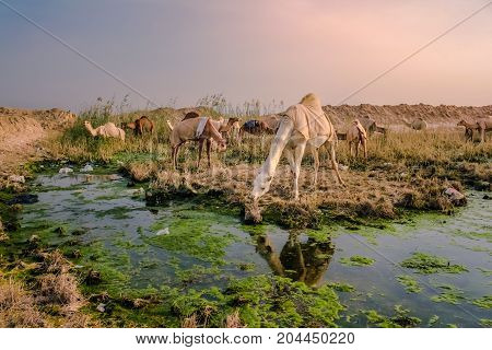 KUWAIT - DECEMBER, 23, 2016 - A pack of camels near a pool of water on December 23, 2016, in Kuwait.