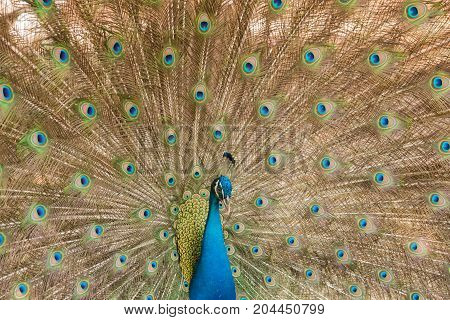 image of a  peacocks showing beautiful feathers.