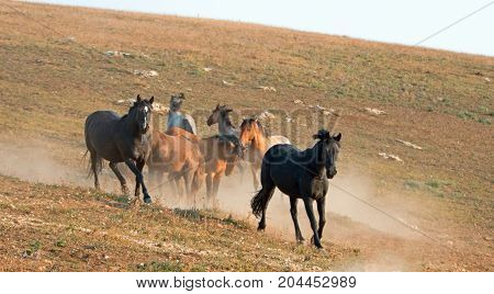 Wild Horses Mustang Stallions on the run while fighting in the Pryor Mountains Wild Horse Range on the state border of Wyoming and Montana United States