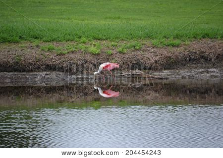 roseate spoonbill are a beautiful pink wading bird