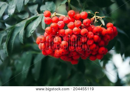 Bunch Of European Rowan On Tree
