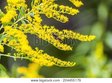 Vibrant Small Yellow Flowers With Dark Striped Hornet Bee Perched On Petals
