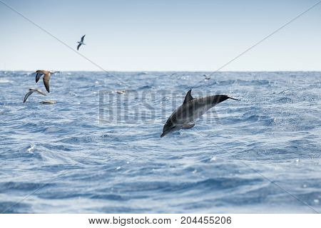 Sea Gulls And Common Dolphin