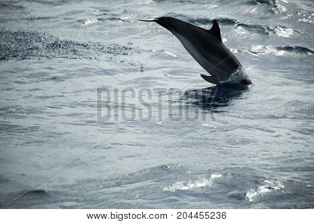 Common Dolphin Jumping  In Atlantic Ocean